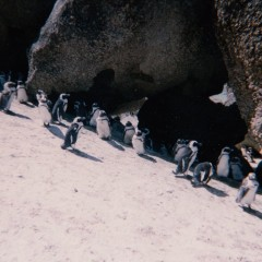 Penguins in Africa