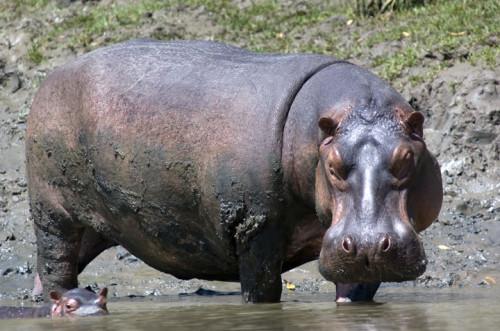 sm hippo