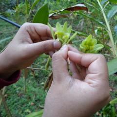 The Art of Vanilla Pollination