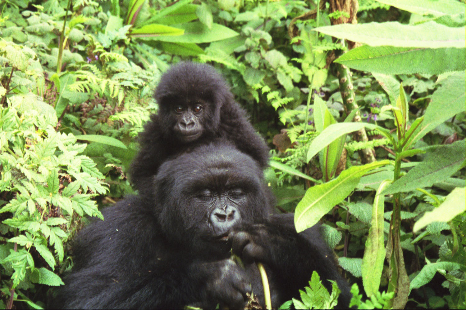 The Gorilla and More in Rwanda (video)
