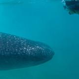 Whale Watching Season in La Paz