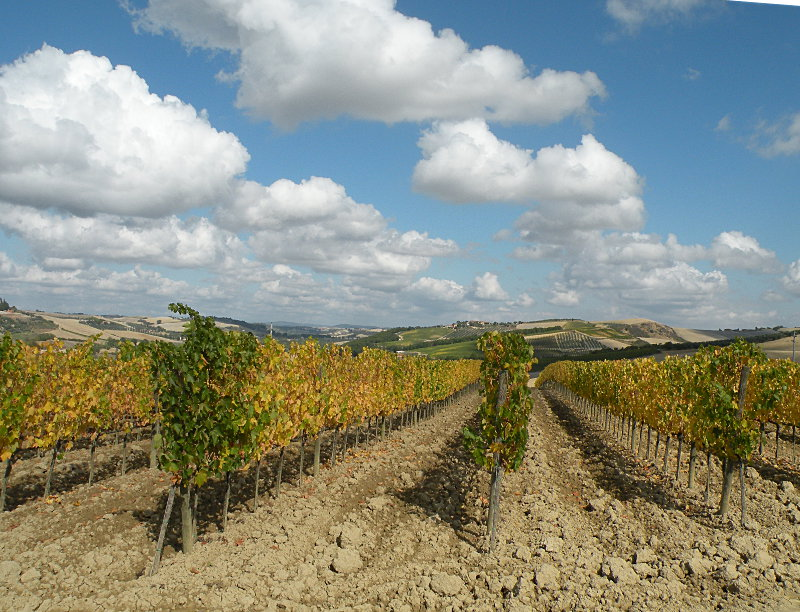 Montepulciano Vineyards