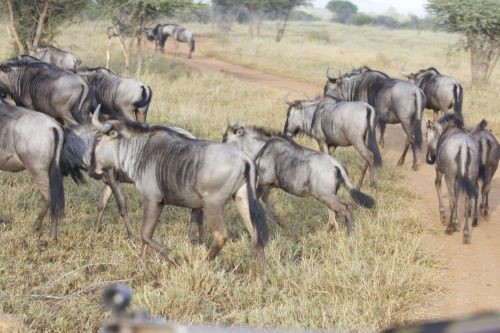Wildebeest on Safari in Swaziland