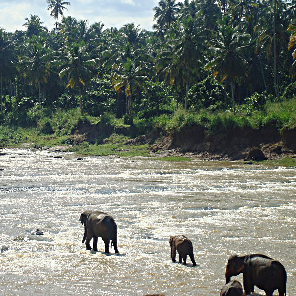 Elephants on the Maha Oya River