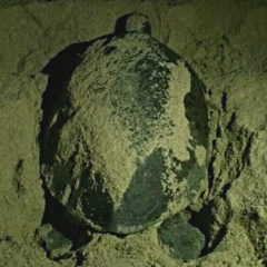Tracking Sea Turtles in Oman