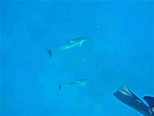 Swimming with Spinner Dolphins