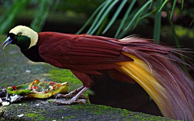 In Search of The Bird of Paradise