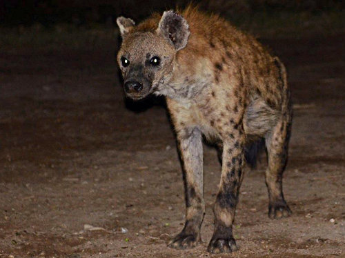 A Symbiotic Relationship Between Man and One of Africa's Most Feared Predators, the Hyena