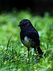 A North Island Robin, Zealandia