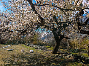 Cherry Blossoms in the Hunza Valley