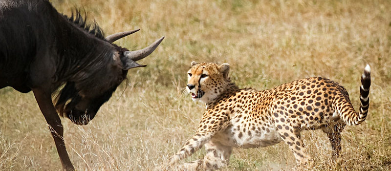 Wildebeest turns the tables on chasing cheetah, tanzania