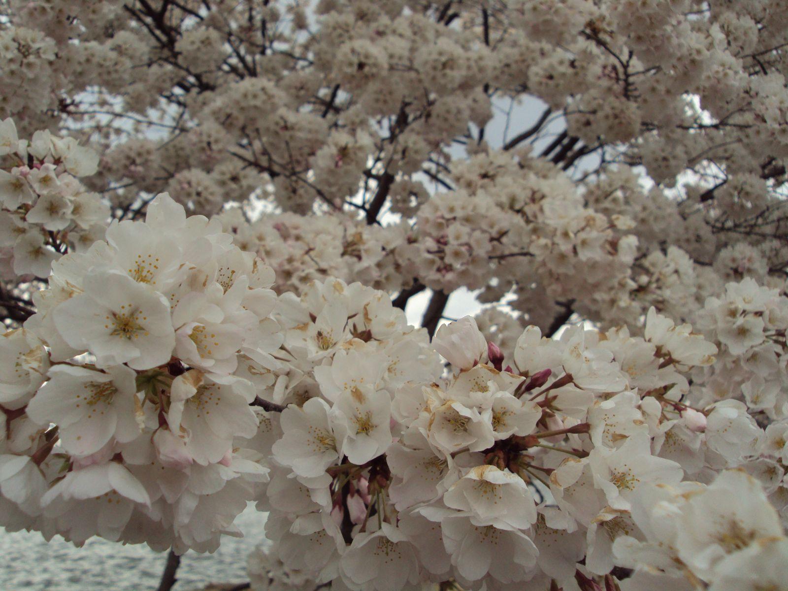 D.C.'s Cherry Blossom Festival
