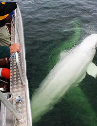 Adventure Beluga Whale Watching Tour