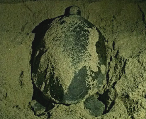 Tracking Sea Turtles in Oman