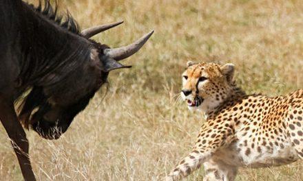 Safari Bliss with Big Cats in Ndutu, Tanzania
