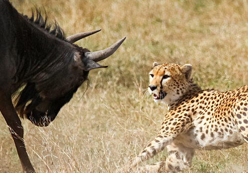 Safari Bliss with Big Cats in Ndutu, Tanzania